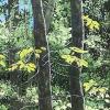 ©Cynthia K. Reid - Twin Trees